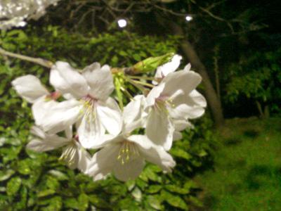 桜08の1