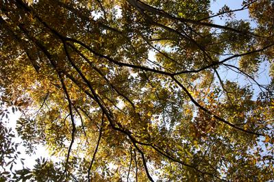 木の葉の天井