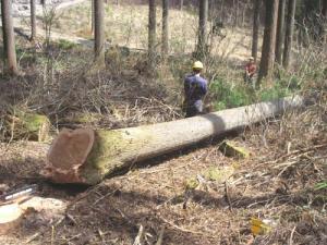 樹齢82年の杉