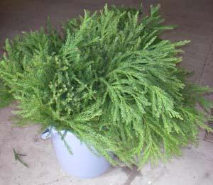 植林用苗木