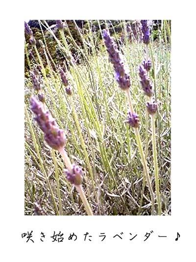 lavendr1.jpg