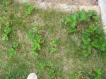 芝生いちご02