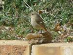 たわし鳥0330