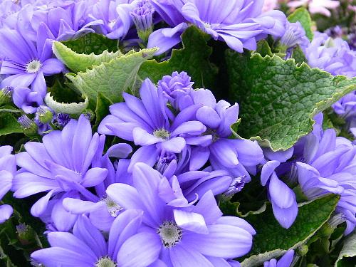 プリムラ(紫系)
