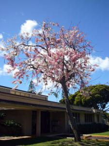 ハワイ 桜色の花