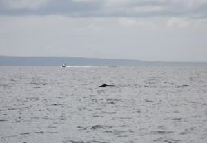 マウイ島 クジラ2