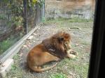 旭山動物園 ライオン 写真 画像