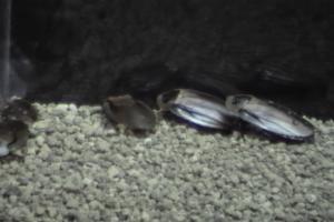 コガタドクロゴキブリ