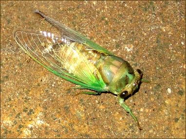 cicada02