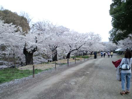 上田城桜1