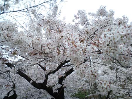 上田城桜2