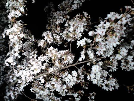 上田城桜ライトアップ2