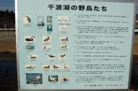千波湖の野鳥たち