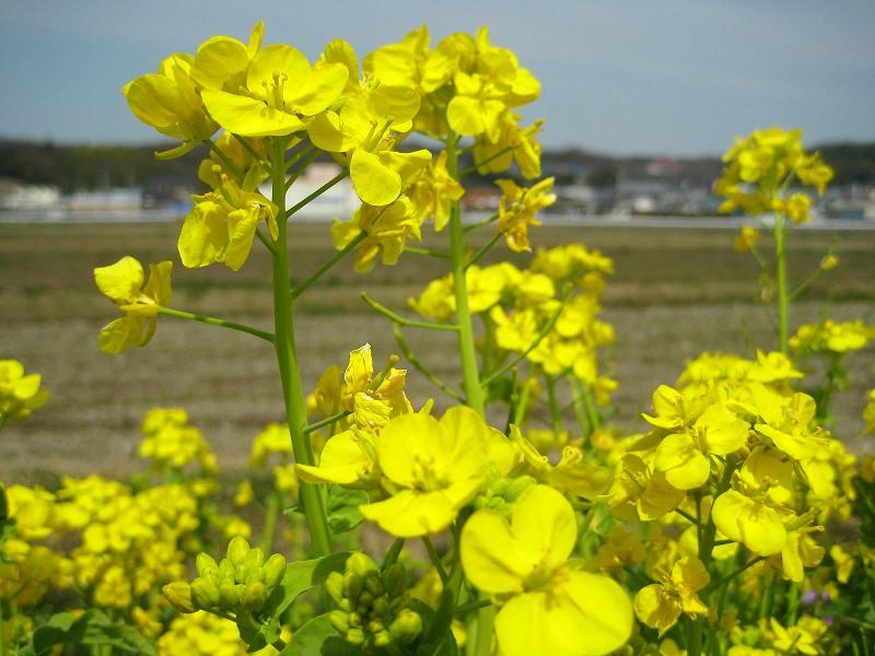 菜の花+2008-04-05+12-36-12+1600x1200