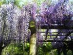 白鷺城藤の花