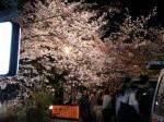 円山公園巨大しだれ桜