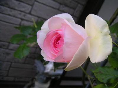ロンアール咲き始め