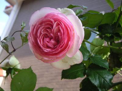 ロンサール開花