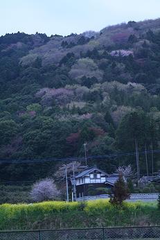 菜の花と民家と桜の裏山