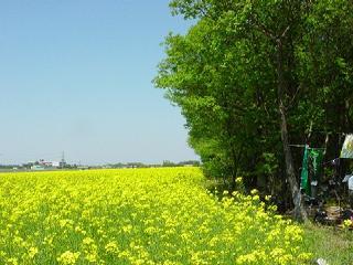 北嶋さんちの菜の花畑