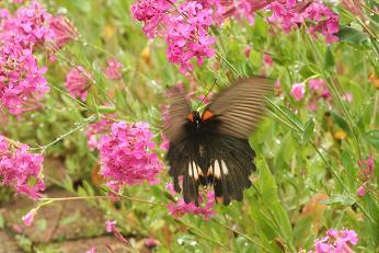 蝶々 その1
