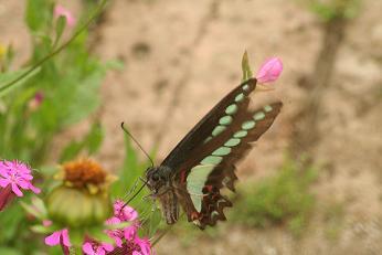 蝶々その3