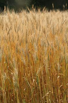 ,おーさんの麦畑