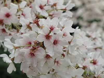 桜のドアップ
