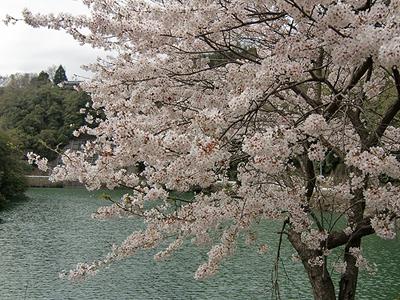 桜の咲く池
