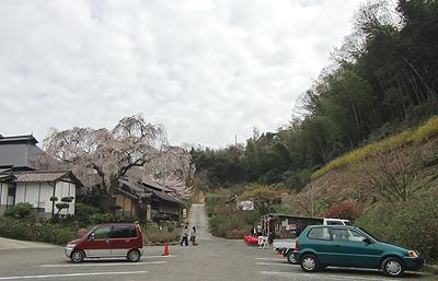 駐車場から見るしだれ桜
