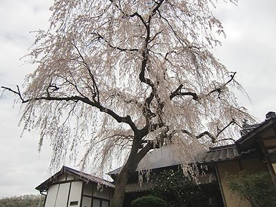 樹齢約250年