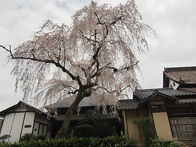 福泉坊のしだれ桜