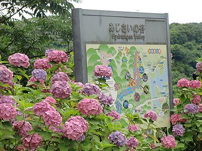 紫陽花の谷…?