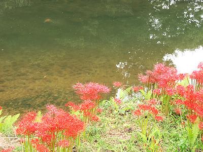 鯉と彼岸花