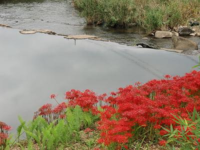 河原に咲く彼岸花