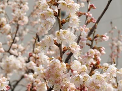 桜なのか?