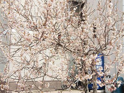 ン~~~?桜か?