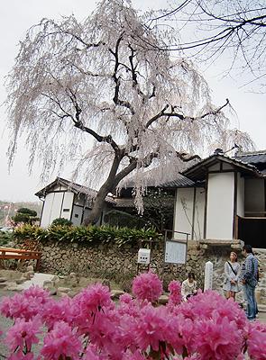 福泉坊のしだれ桜とツツジの鉢植え