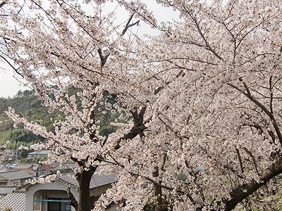 近畿中国四国農業研究センター(中国農試)満開の桜