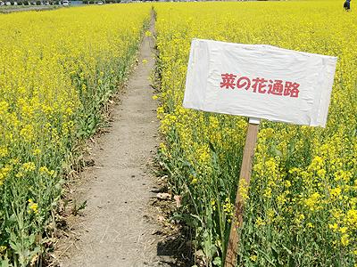 菜の花畑の通路