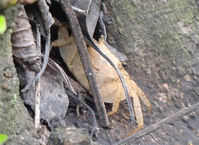 木登りする蟹