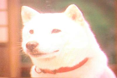 ソフトバンクのお父さん犬(北海道犬)
