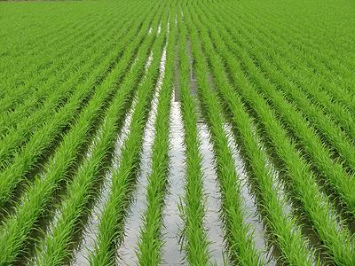 稲の隙間から映り込む逆さの街