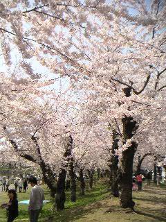 五稜郭の桜:その壱