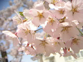 五稜郭の桜:その弐