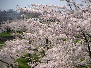 五稜郭の桜:その参