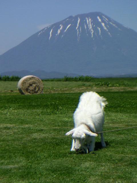 羊蹄山とヤギ