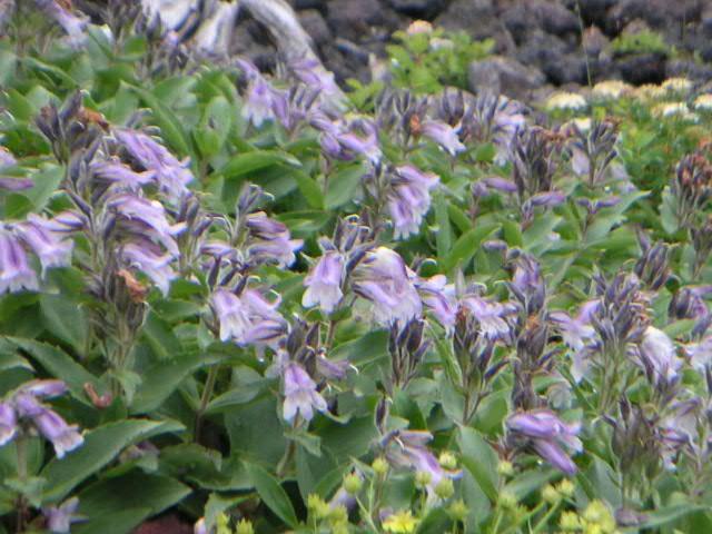高山植物②