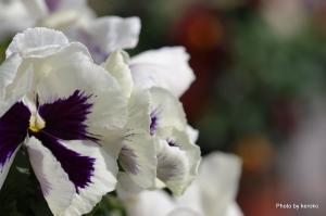 パンジー・白紫