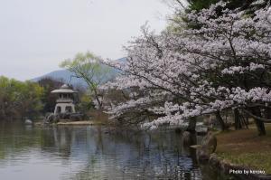 三島池の桜
